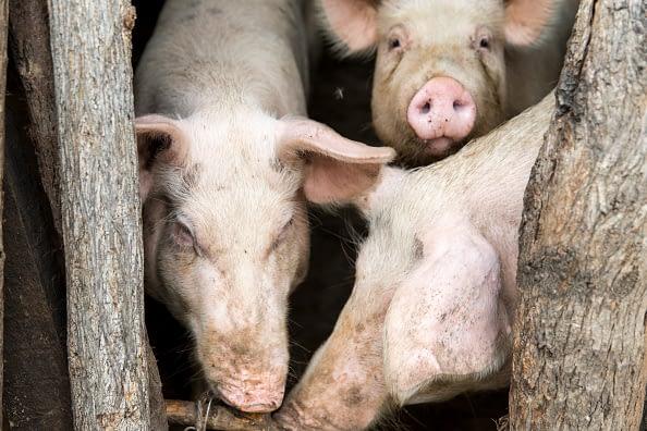 site de rencontre pour les porcs